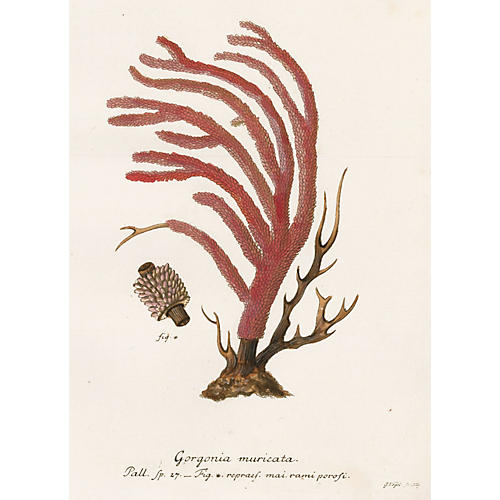 Red Coral Engraving, 1791