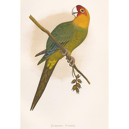 Carolina Parrot Engraving, 1884