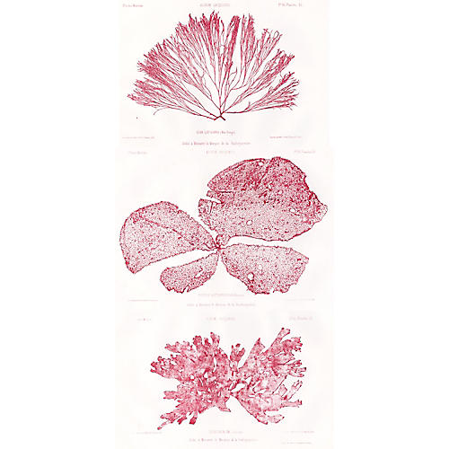 Red Seaweed Lithographs, 1856 S/3