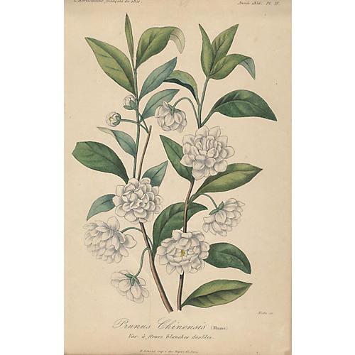 Prunus Chinensis (Blume)