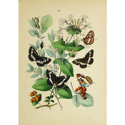 White Admiral Butterfly, 1882