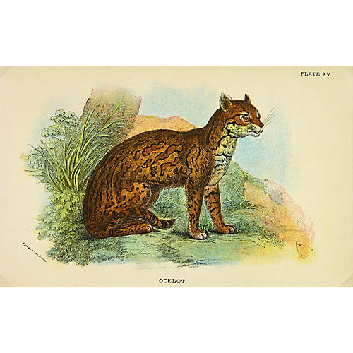 Ocelot Cat, 1896