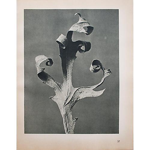 1935 Photogravure N37-38 by Blossfeldt