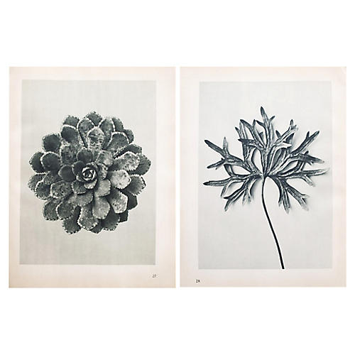 Blossfeldt Two-Sided Photogravure N27-28