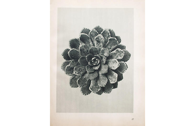 Blossfeldt Two-Sided Photogravure N27-28