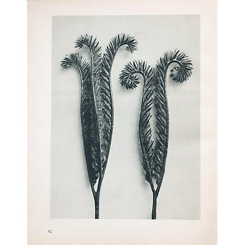 Photogravure N81-82 by Blossfeldt, 1935