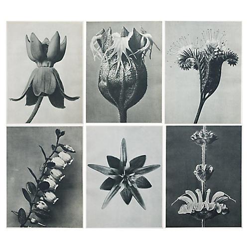K. Blossfeldt Botanical Prints, S/6