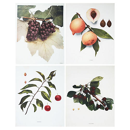 4 Large Antique Fruit Prints by Hedrick