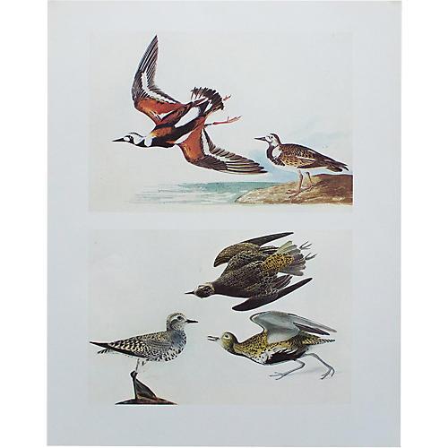 1966 Audubon, Turnstone & Golden Plover