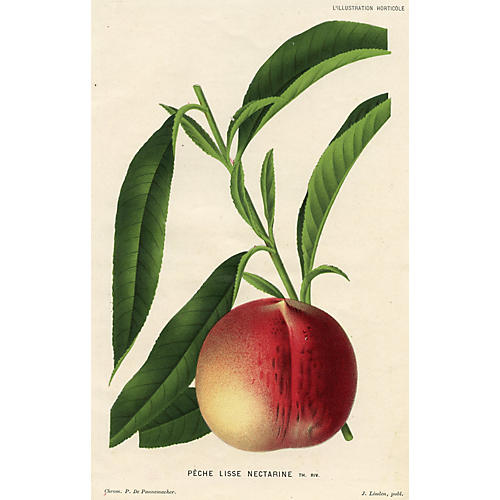 Belgium Fruit Print - Peach, 1882