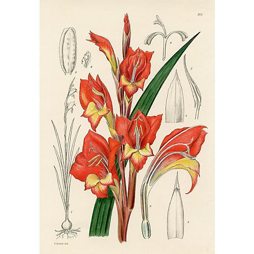 South African Gladiolus, 1922