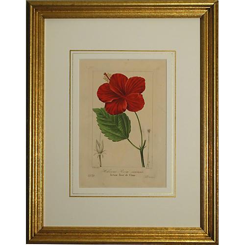 Chinese Hibiscus, 1836