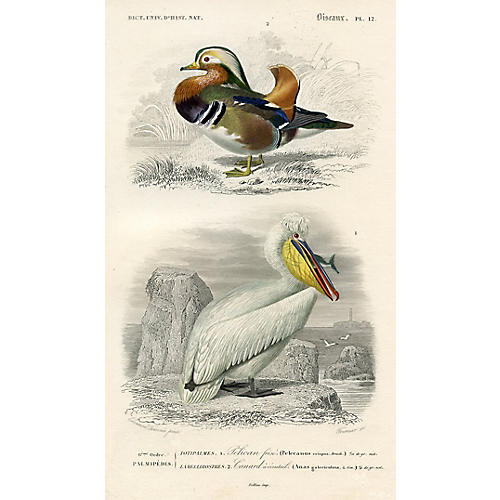 French Pelican & Duck Print, 1849