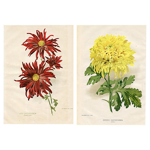 1890s Chrysanthemum Prints, S/2