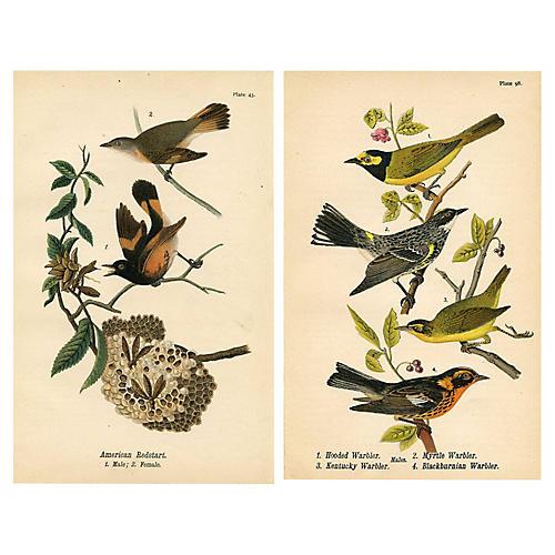 American Redstart & Kentucky Warbler