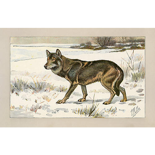 Antique Wolf Print from France, 1907