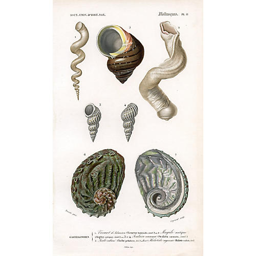 French Seashell Print, 1849