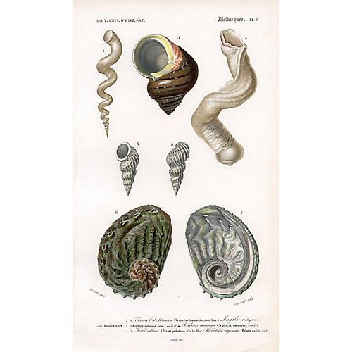 French Seashell Print, 1849