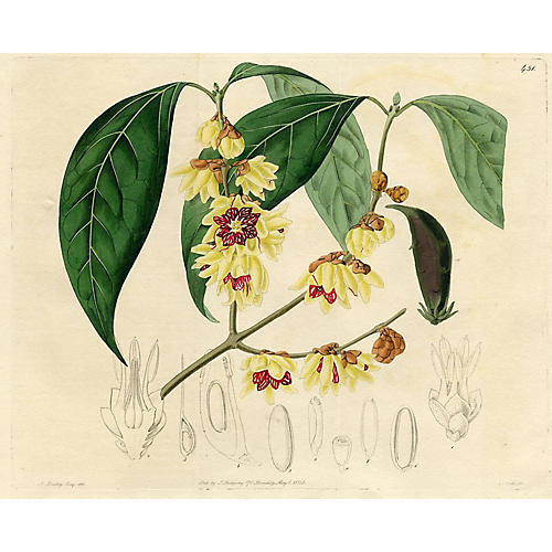 Large-flowered Japan Allspice, 1820
