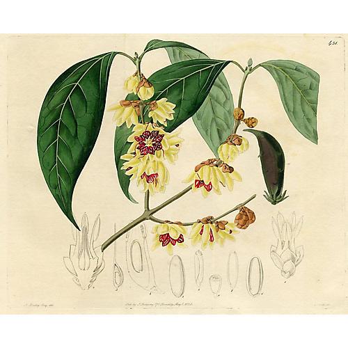 Large-flowered Japan Allspice, 1820