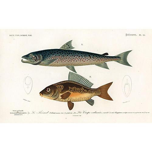 French Salmon Print, 1849