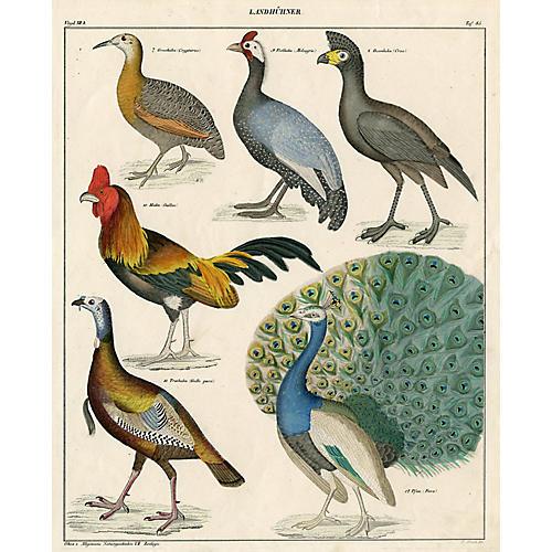 German Pheasant & Poultry Print, 1843