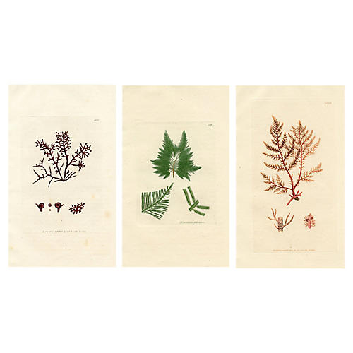 19th-C. British Seaweed Prints, S/3