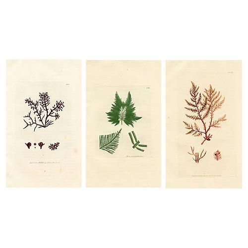 19th-C. British Seaweed Prints, S/3