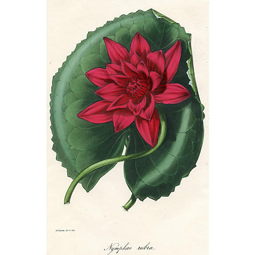 Red-Flowered Water Lily, 1844