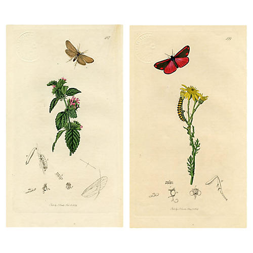 1830s Moth Prints by John Curtis, S/2