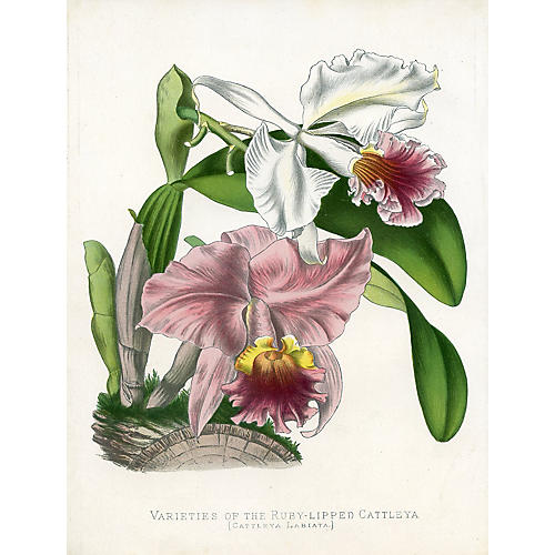 Ruby-Lipped Cattleya Orchid, 1882