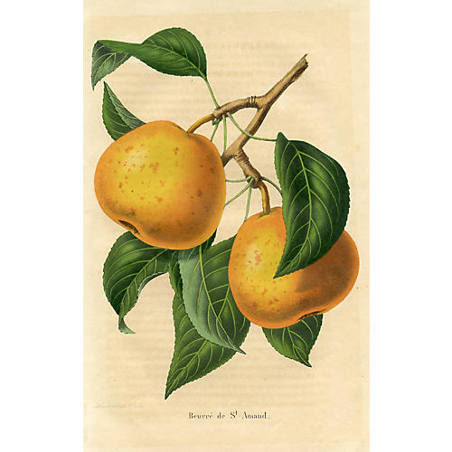 Belgian Apple Print, 1857