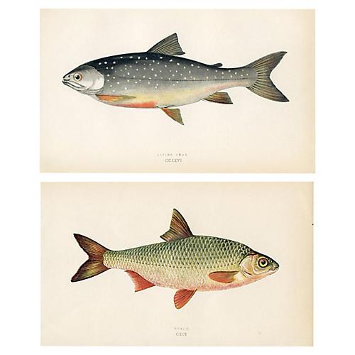19th-C. British Fish Engravings, Pair