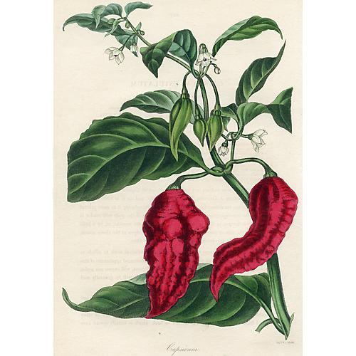Chili Pepper, 1838