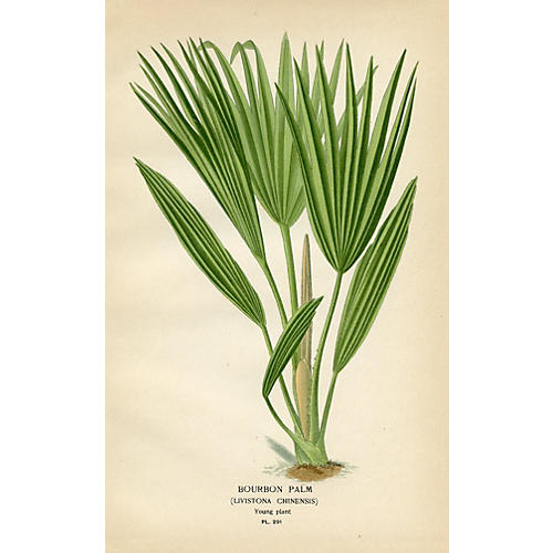 Bourbon Palm, 1896