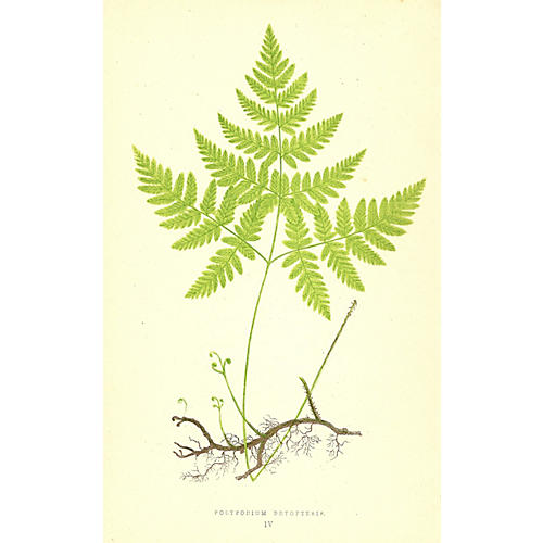 Polypodium Dryopteris Fern
