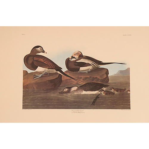 Long-Tailed Duck by Audubon