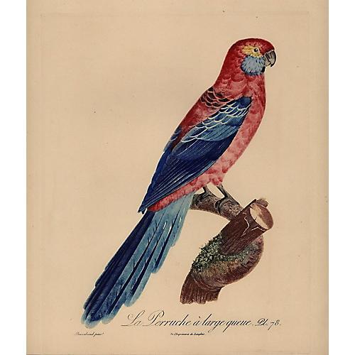 Parakeet w/ Large Tail