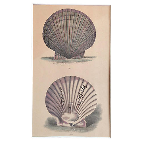 19th-C. Engraving of Two Shells