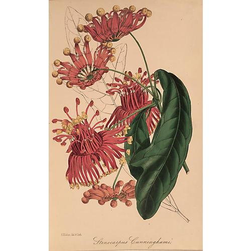 Stenocarpus Cunninghamii